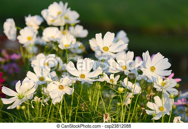 White cosmos flowers in the garden mightylinksfo