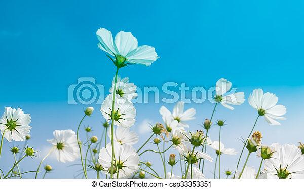 White cosmos flowers in the garden white cosmos flowers in the garden csp33353351 mightylinksfo