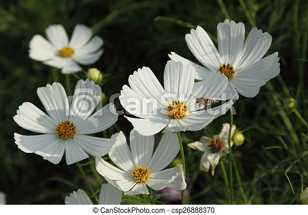 White cosmos flowers close up white cosmos flowers in the garden white cosmos flowers csp26888370 mightylinksfo