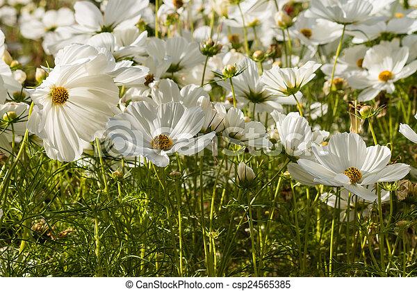 Detail of white cosmos flowers white cosmos flowers csp24565385 mightylinksfo