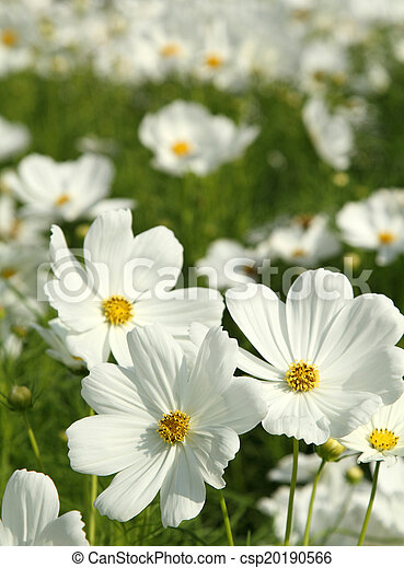 White cosmos flowers close up white cosmos flowers in the garden white cosmos flowers csp20190566 mightylinksfo