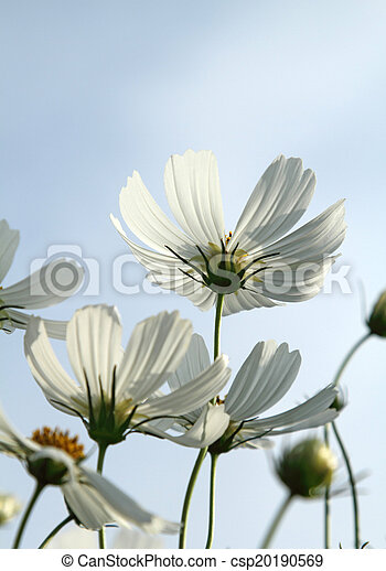 White cosmos flowers close up white cosmos flowers in the garden white cosmos flowers csp20190569 mightylinksfo