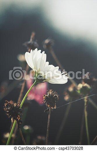 White cosmos flowers white cosmos flowers csp43703028 mightylinksfo