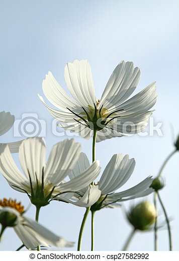 White cosmos flowers close up white cosmos flowers in the garden white cosmos flowers csp27582992 mightylinksfo