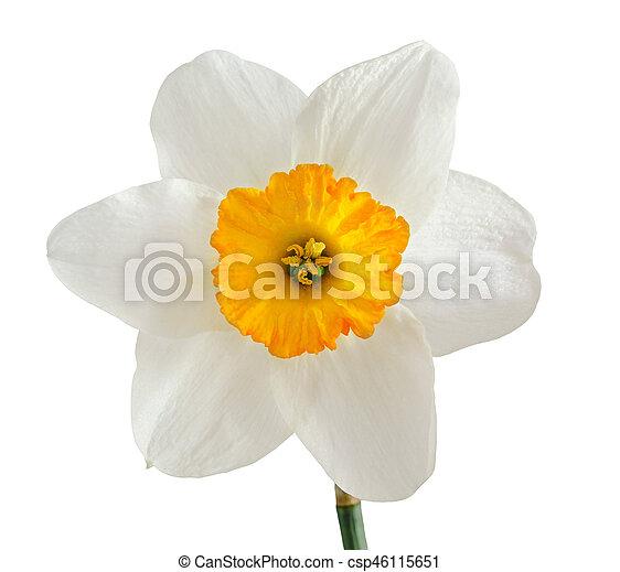 White daffodil flower narcissus orange pistil close up white white daffodil flower narcissus orange pistil close up white background mightylinksfo