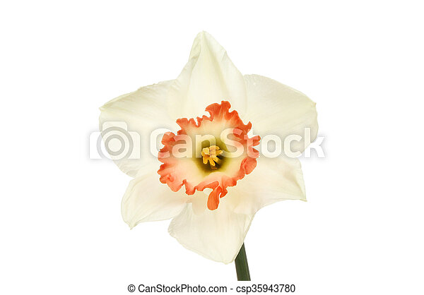 White daffodil flower with frilly orange center pictures search white daffodil flower csp35943780 mightylinksfo
