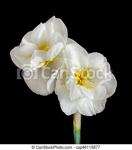 White daffodil flowers narcissus yellow middle pistil picture white daffodil flowers narcissus yellow middle pistil close up black background mightylinksfo