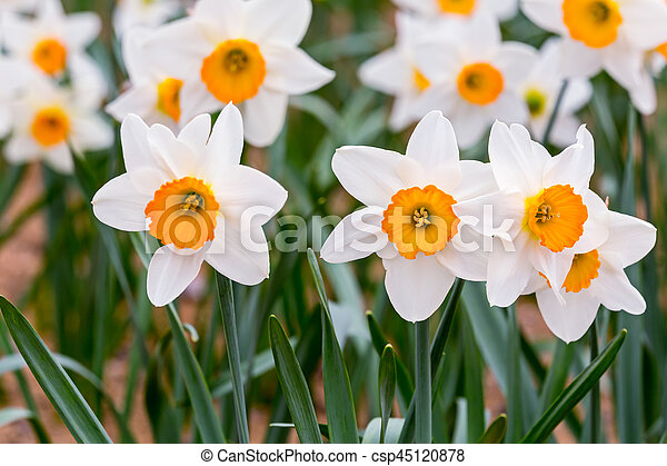 White daffodils flowers with green leaves blooming in picture white daffodils flowers with green leaves blooming in springtime csp45120878 mightylinksfo