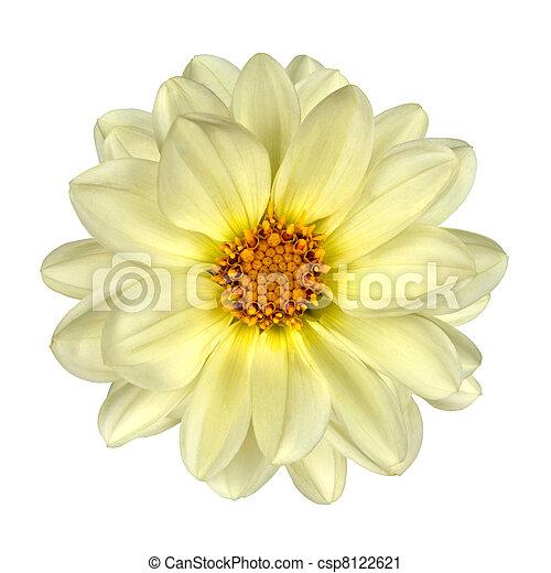 White Dahlia Flower Yellow Center Isolated - csp8122621