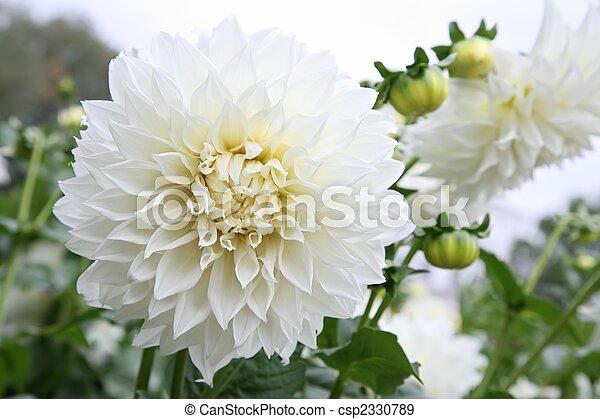 white dahlia - csp2330789