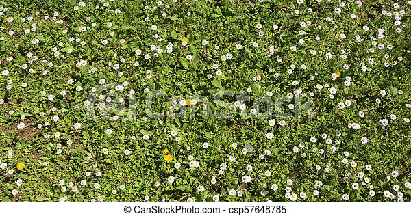 white daisies blooming on a green meadow in the spring - csp57648785