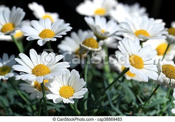 white daisies flowers leucanthemum vulgare