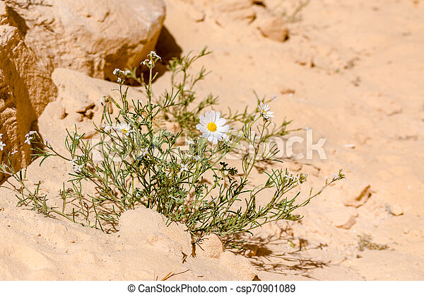 white daisies on the sand in the desert close up - csp70901089