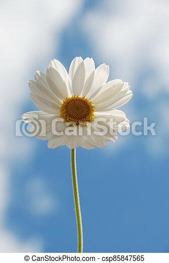 White  daisy against a  sky - csp85847565