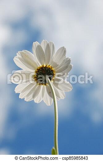 White  daisy against a  sky - csp85985843