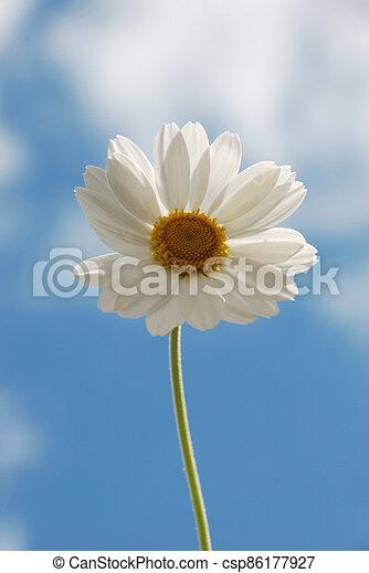 White  daisy against a  sky - csp86177927