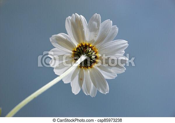 White  daisy against a  sky - csp85973238