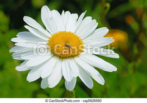 White daisy - csp5626560