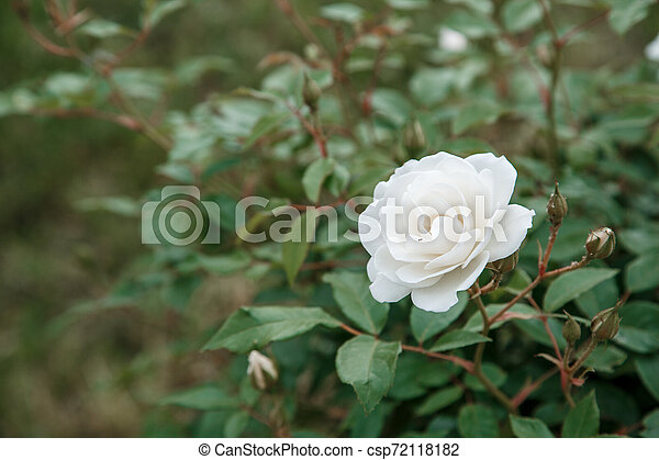 white delicate rose closeup. selective focus with shallow depth of field - csp72118182
