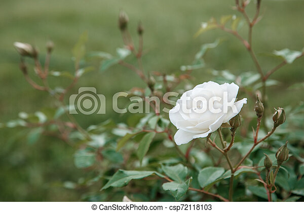 white delicate rose closeup. selective focus with shallow depth of field - csp72118103