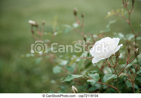 white delicate rose closeup. selective focus with shallow depth of field - csp72118104