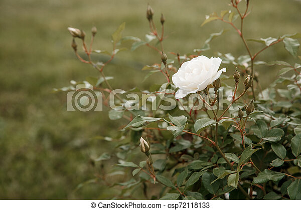 white delicate rose closeup. selective focus with shallow depth of field - csp72118133