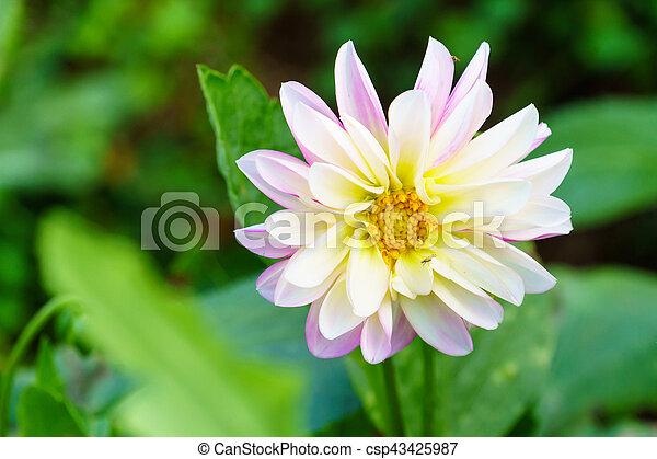 White delphinium flower in garden white delphinium flower on tree white delphinium flower in garden csp43425987 mightylinksfo