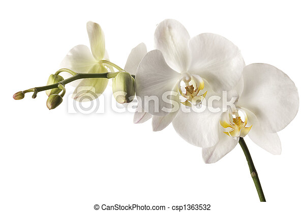 White dendrobium orchid isolated on white background.  - csp1363532