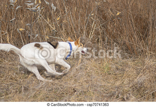 White dog galloping in wild grass while hunting outdoors - csp70741363