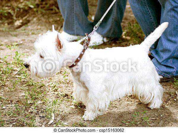 White dog on a leash - csp15163062
