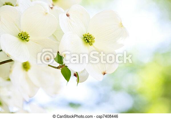White Dogwood Flower Beautiful White Dogwood Flower In Soft Sunlight