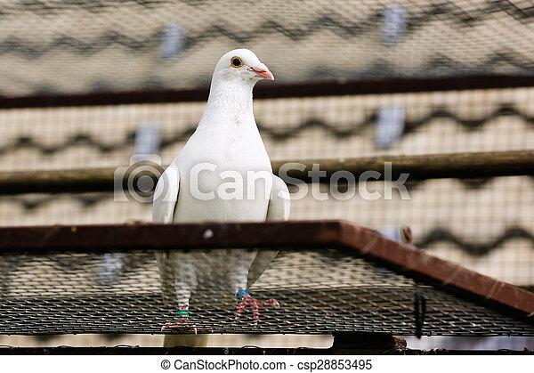 White dove in breeding cage - csp28853495