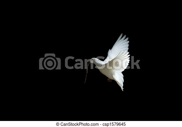 white dove in flight - csp1579645