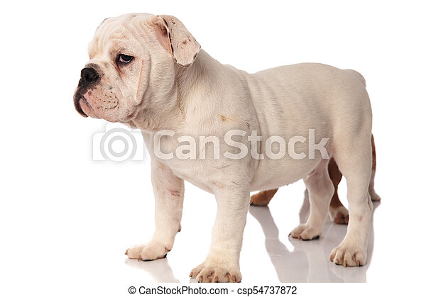 white english bulldog puppy standing with brother behind it