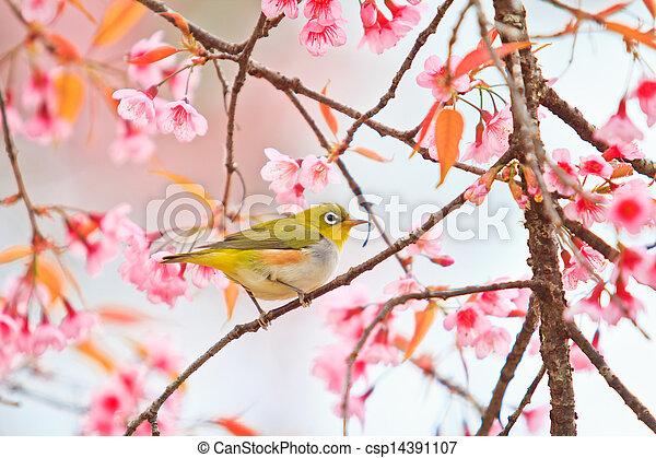 white-eye Bird on Cherry Blossom and sakura - csp14391107