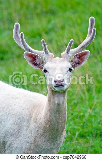 White Fallow Deer - csp7042960