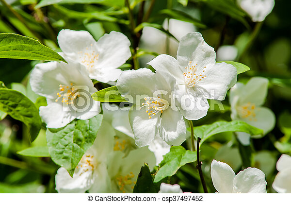 White flower bush flowering shrub with small fragrant stock white flower bush csp37497452 mightylinksfo Images