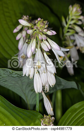 White flower hosta in the garden in summer picture search photo white flower hosta csp44981779 mightylinksfo