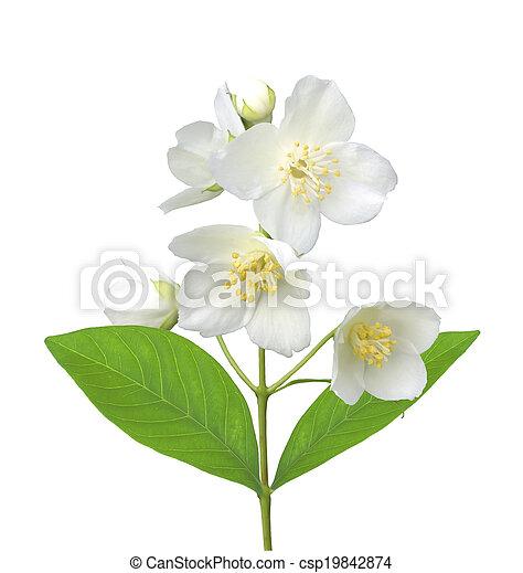 White flower (jasmine) isolated on white background. - csp19842874