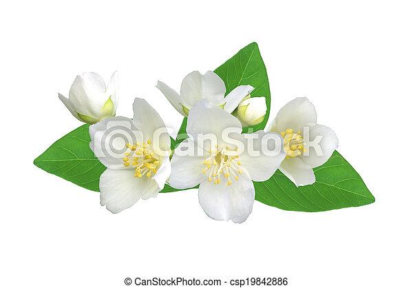 White flower (jasmine) isolated on white background. - csp19842886