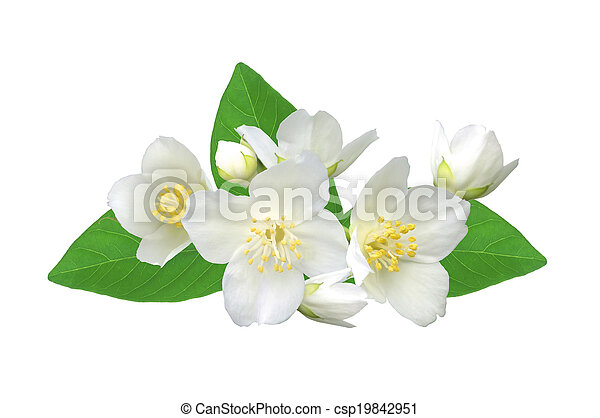 White flower (jasmine) isolated on white background. - csp19842951