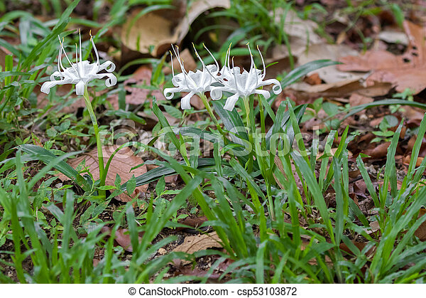 white flower of crinum also known as crinum lily cape lily poison
