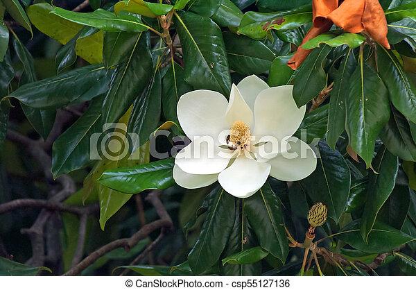 White flower of magnolia tree white flower of magnolia tree csp55127136 mightylinksfo