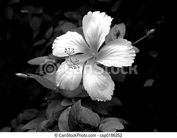 White flower against black background stock photo search pictures white flower csp0186252 mightylinksfo