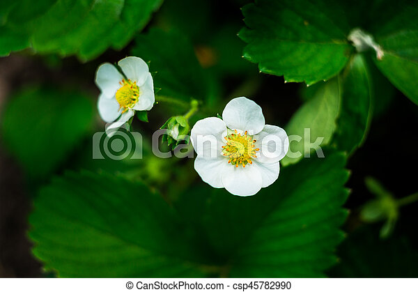 White Flower Strawberrystrawberry Flower And Leavesa Strawberry