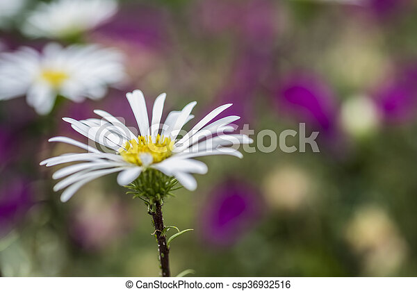 White flower with yellow centre and celmisia hookeri flower daisy white flower with yellow centre and csp36932516 mightylinksfo