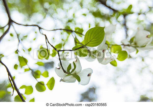 White flowering dogwood tree cornus florida in bloom in blue sky white flowering dogwood tree csp20160565 mightylinksfo