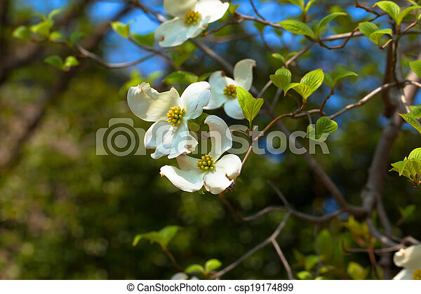 White flowering dogwood tree cornus florida in bloom white flowering dogwood tree csp19174899 mightylinksfo