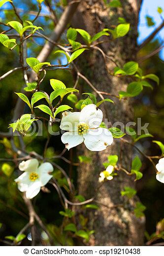 White Flowering Dogwood Tree Cornus Florida In Bloom