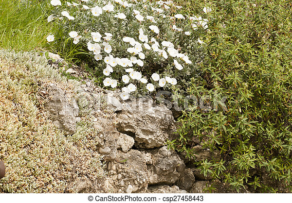White flowers and evergreen bush in the rock white flowers and evergreen bush in the rock csp27458443 mightylinksfo